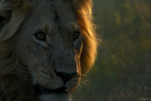 Portrait de lion (1)