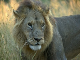 Portrait de lion (2)