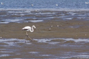 Flamants à Walvis Bay (1)