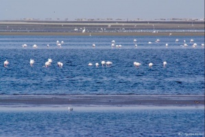 Flamants à Walvis Bay (2)