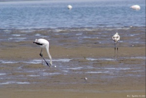 Flamants à Walvis Bay (3)