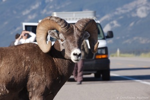 Mouflon sur la Yellowhead Highway